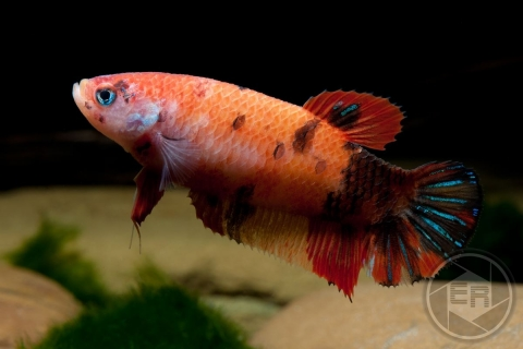 Betta splendens Koi Female