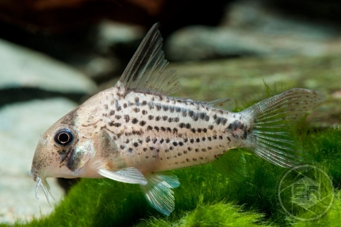 Corydoras sp bycatch at C3