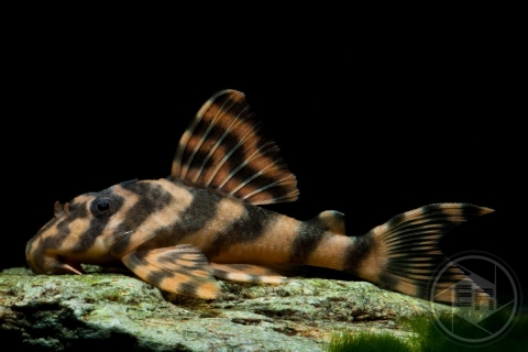 L243_Ancistomus_sp